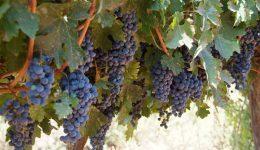 Cabernet-Sauvignon-picture-630x417